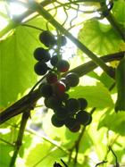 spanische Weintrauben an der Costa Brava
